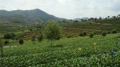 WULIANG NEEDLE Grüntee BIO - Yunnan
