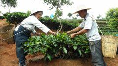 GREEN JADE SNAIL  BIO - Yunnan